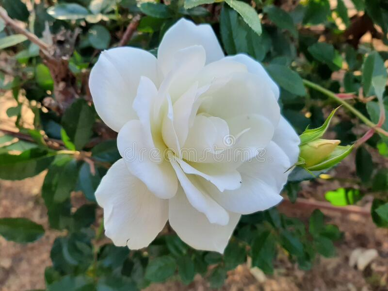 A wonderful white rose in a garden stock images
