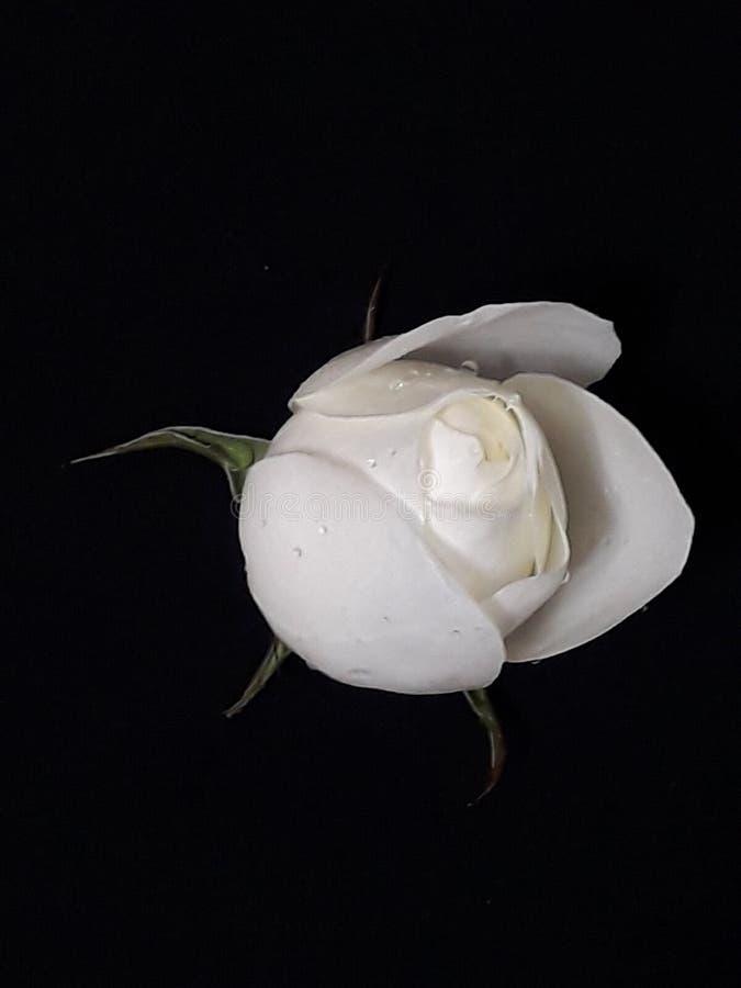 Wonderful white rose stock images