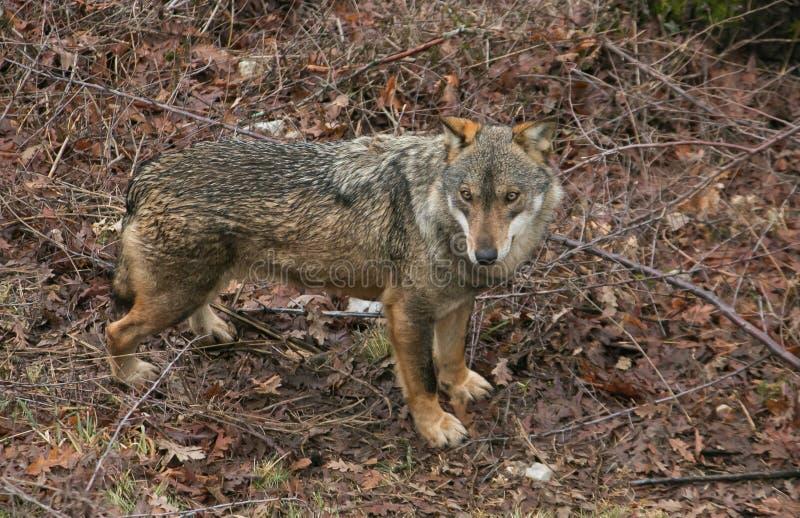 Wonderful wild gray wolf walking in the mountain royalty free stock photos