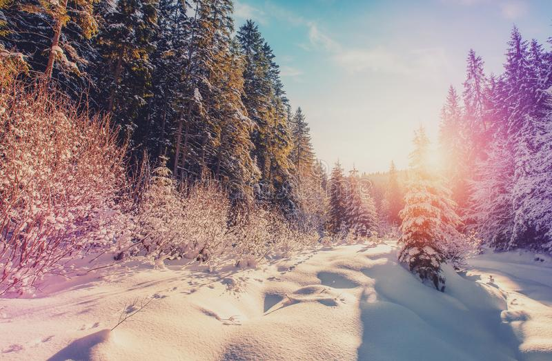 Wonderful Winter Landscape. Panoramic Wintry Scenery, Spruce Tree Forest Covered by Snow, bright sunshine, blue sky. Amazing. Picturesque Sunset. picture of royalty free stock photography