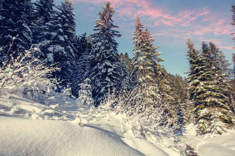Wonderful wintry landscape. Winter mountain forest. frosty trees under warm sunlight. picturesque nature scenery stock image