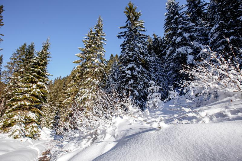 Wonderful wintry landscape. Winter mountain forest. frosty trees under warm sunlight. picturesque nature scenery stock images