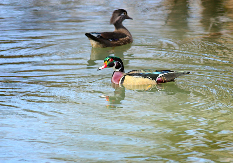 Wonderful Wood Ducks Stock Photography