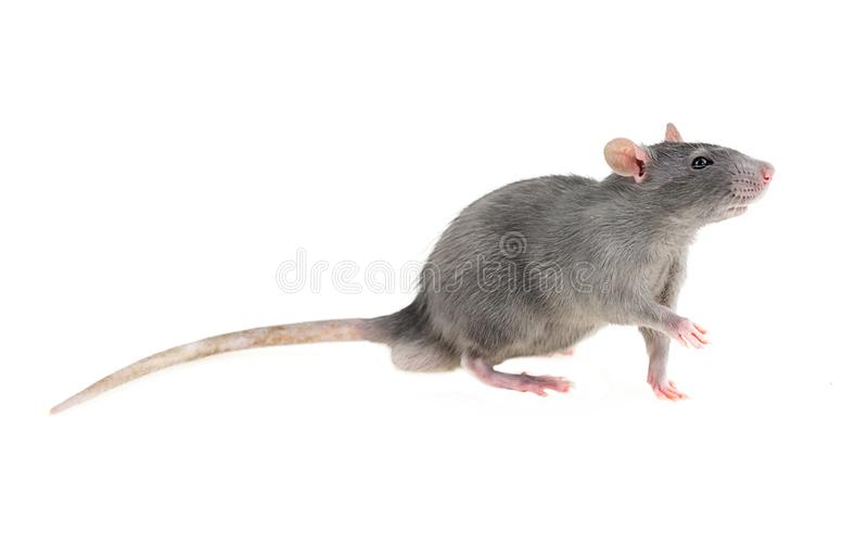 Wonderful young timid wary light gray furry rat home pet on white isolated background looks in right frame pulls left front paw gr. Eet royalty free stock photos