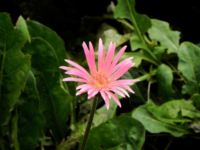 Wonderfull pink flower Gerbera close up stock images