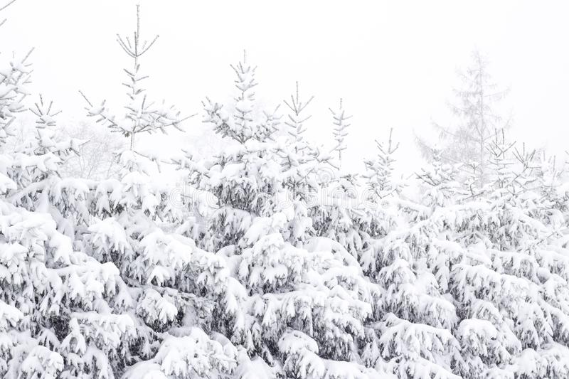 Wonderland Fir trees covered snow Beautiful Winter landscape scene background with snow covered trees Beauty winter backdrop royalty free stock photo