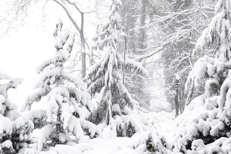 Wonderland Peace winter nature Beautiful Winter landscape scene background with snow covered trees Beauty winter backdrop Frosty. Trees in snowy forest Branches stock photography