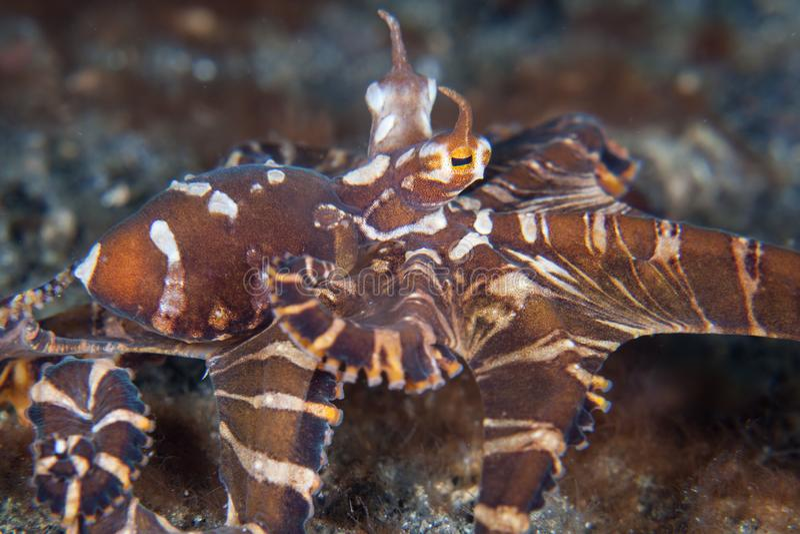 Wonderpus章鱼在Lembeh海峡 库存图片