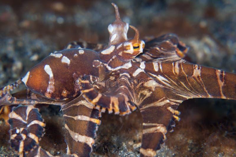 Wonderpus Octopus in Lembeh Strait. A Wonderpus octopus, Wunderpus photogenicus, crawls across the seafloor of Lembeh Strait, Indonesia. This rare cephalopod is stock image