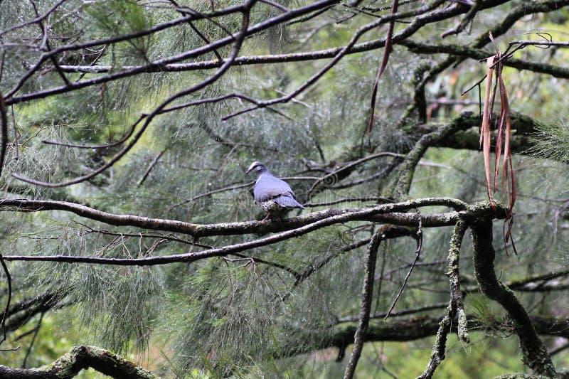 Wonga-Taube in der Kiefer lizenzfreie stockbilder