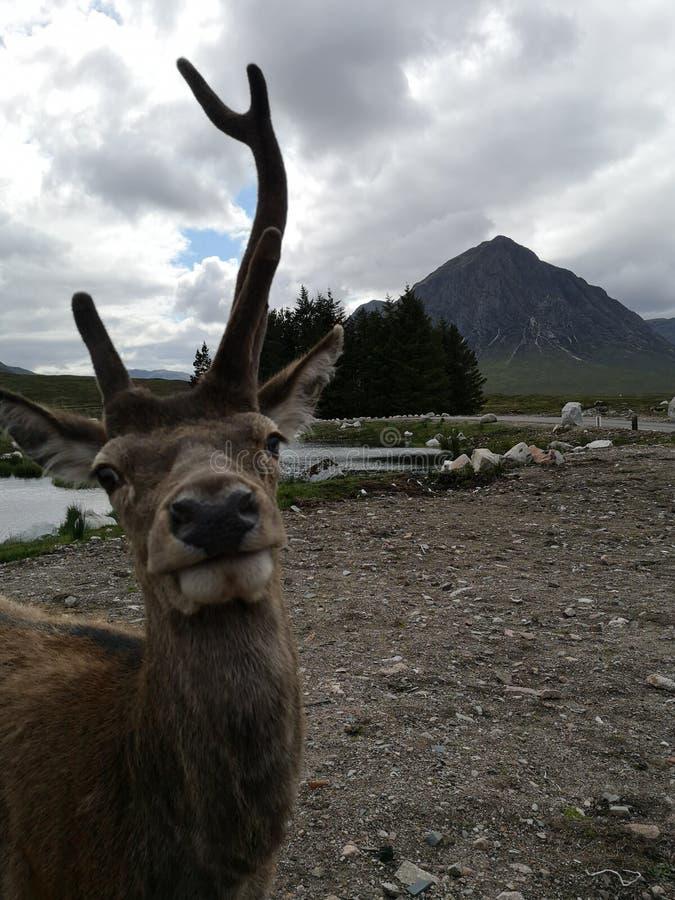 Wonky Stag at Glencoe. Cof, highlands, scotla, scotland, niu, mountain, nature, wildlife, outdoors, buchaille, etive, mor, buchailleetivemor, scottish, deer stock photo