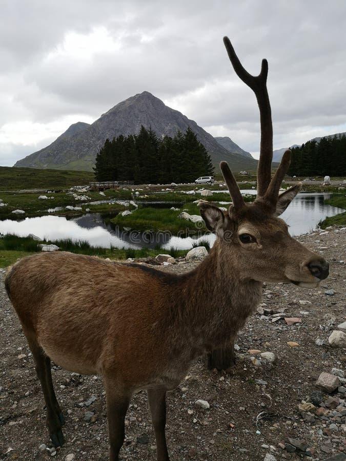 Wonky Stag at Glencoe. Cof, highlands, scotla, scotland, niu, mountain, nature, wildlife, outdoors, buchaille, etive, mor, buchailleetivemor, scottish, deer stock images