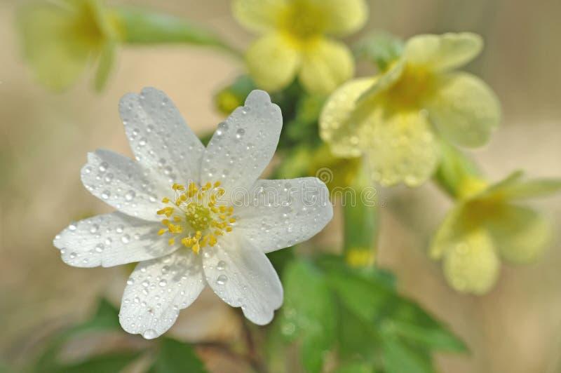 Wood anemon för vårblomma - Anemonoides nemorosa arkivfoto