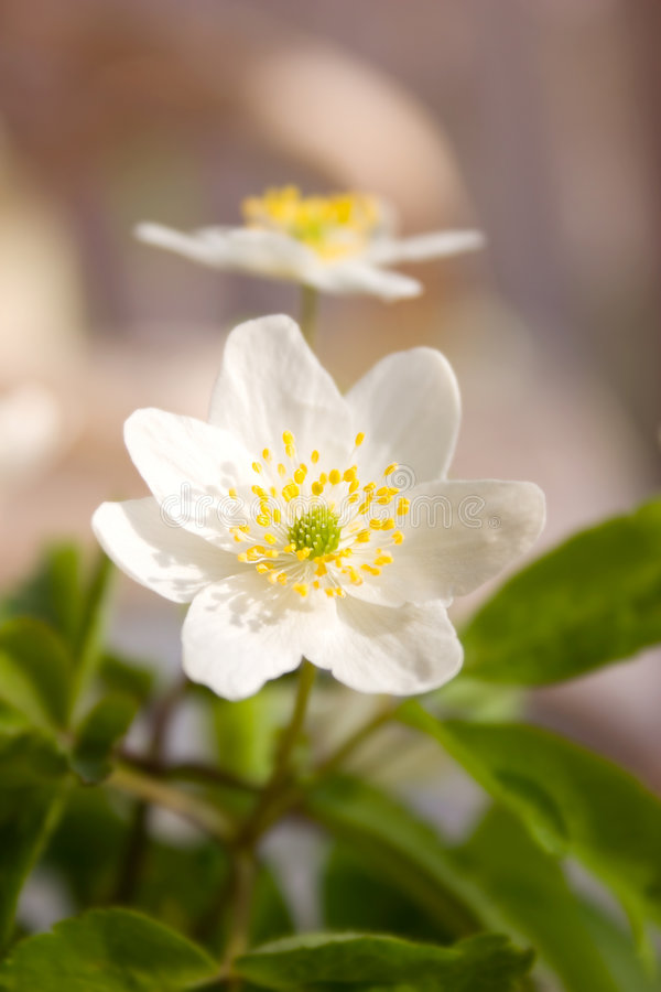 Wood anemone. Close up of white wood anemone flower royalty free stock photos