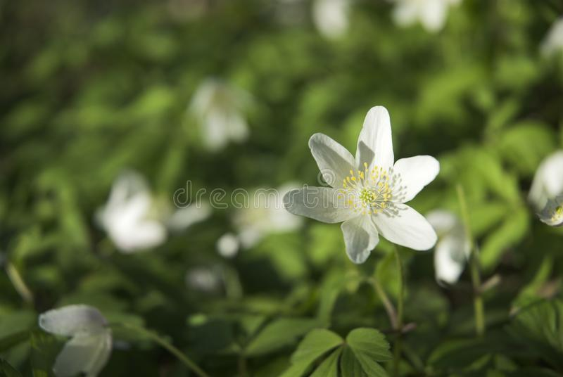 Download Wood Anemone stock photo. Image of close, beauty, garden - 22708238