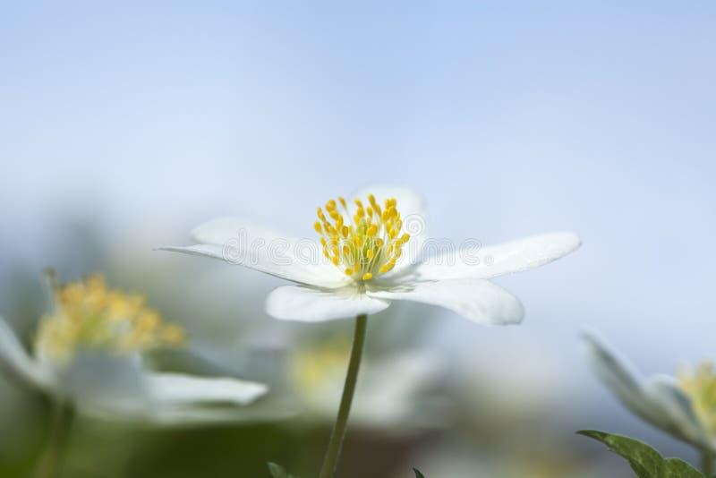Download Wood Anemone (Anemone Nemorosa) Stock Image - Image: 14450485