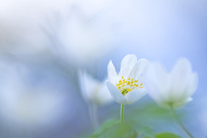 Wood anemone (Anemone nemorosa) with soft focus stock images