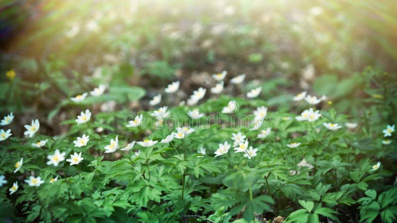 Wood anemone (Anemone nemorosa) in spring royalty free stock photography
