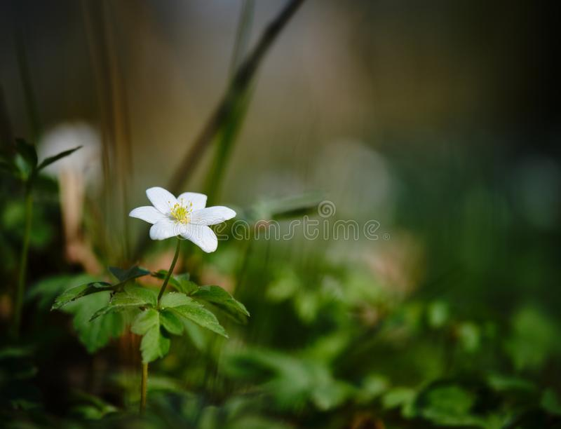 A wood anemone in the forest. A lonely wood anemone in the forest stock image