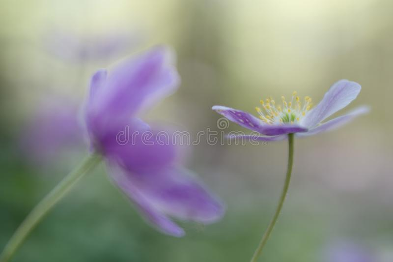 Wood anemone fragility. A pink spring wildflowe royalty free stock image