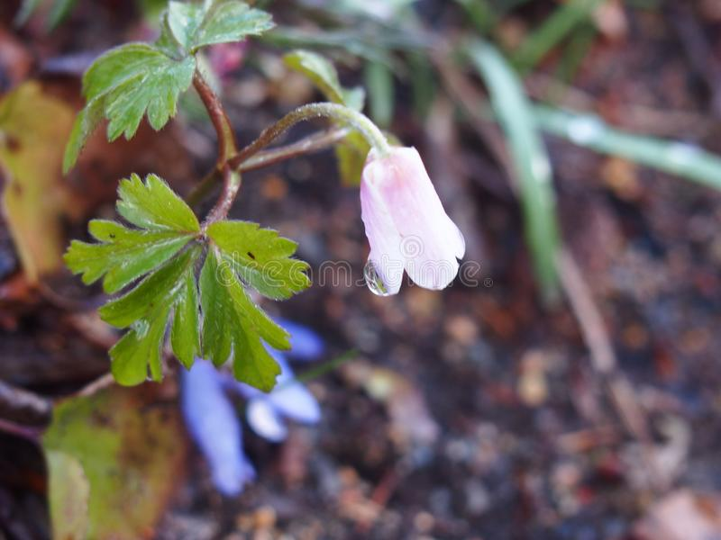 Rain water dew and white pink flower Wood anemone  , berlin dahlem botanical garden stock images