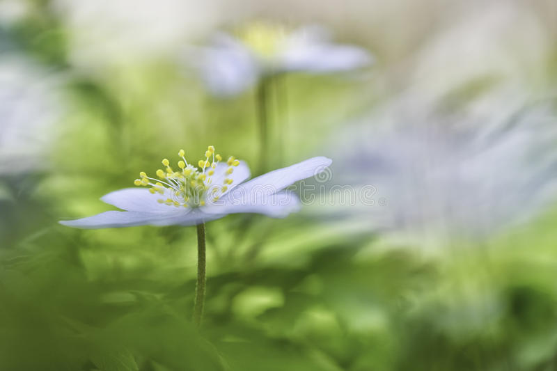 Wood anemone spring is here stock images