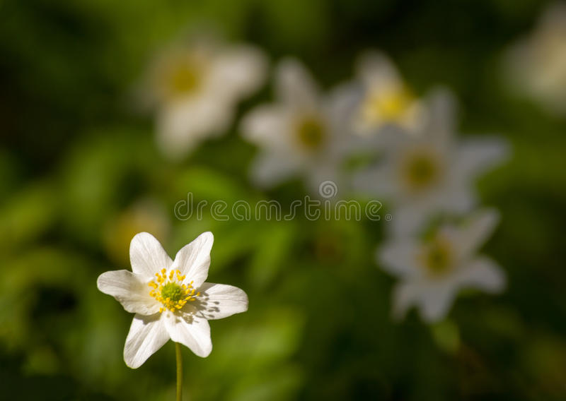 Wood anemone, white anemone flower with some soft flowers in the background royalty free stock photography