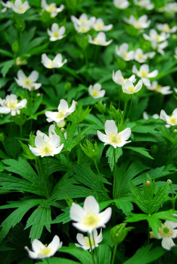 Wood anemones royalty free stock images