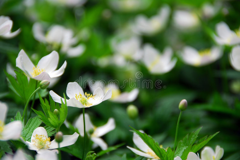 Wood anemones. Spring wild flowers wood anemones close up royalty free stock image
