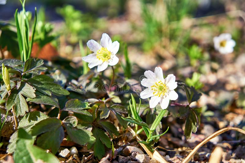 Wood anemones with blurred background. (Anemone nemorosa royalty free stock photo