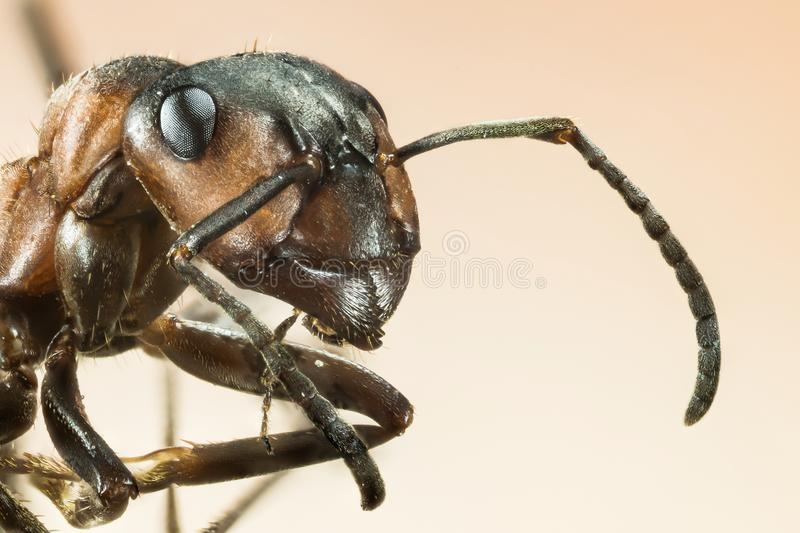 Wood ant, Ant, Ants, Formica rufa. Macro Focus Stacking - Wood ant, Ant, Ants, Formica rufa royalty free stock photography