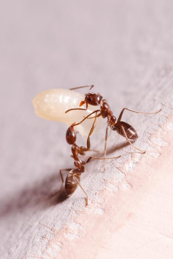 Wood ants, Formica, carrying their eggs to a new home, this ant is often a pest in houses, in a white background.  royalty free stock photos