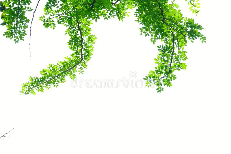 Wood apple tree with leaves branches on white isolated background for green foliage backdrop royalty free stock photos