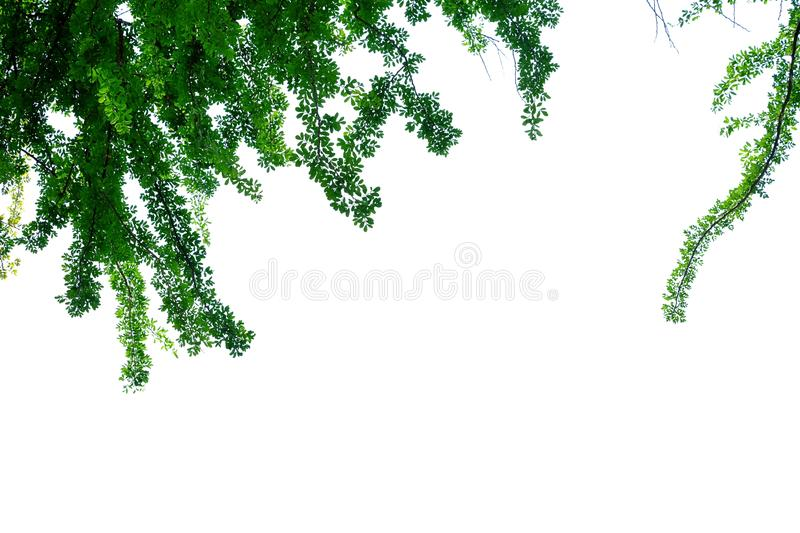 Wood apple tree leaves with branches on white isolated background for green foliage backdrop. Tropical tree leaves branches sunlight white isolated background royalty free stock photography