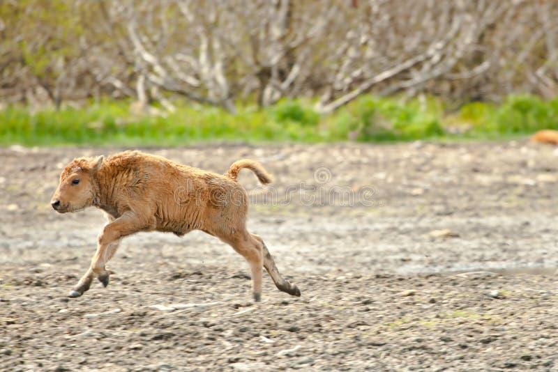 Wood Bison Calf royalty free stock image