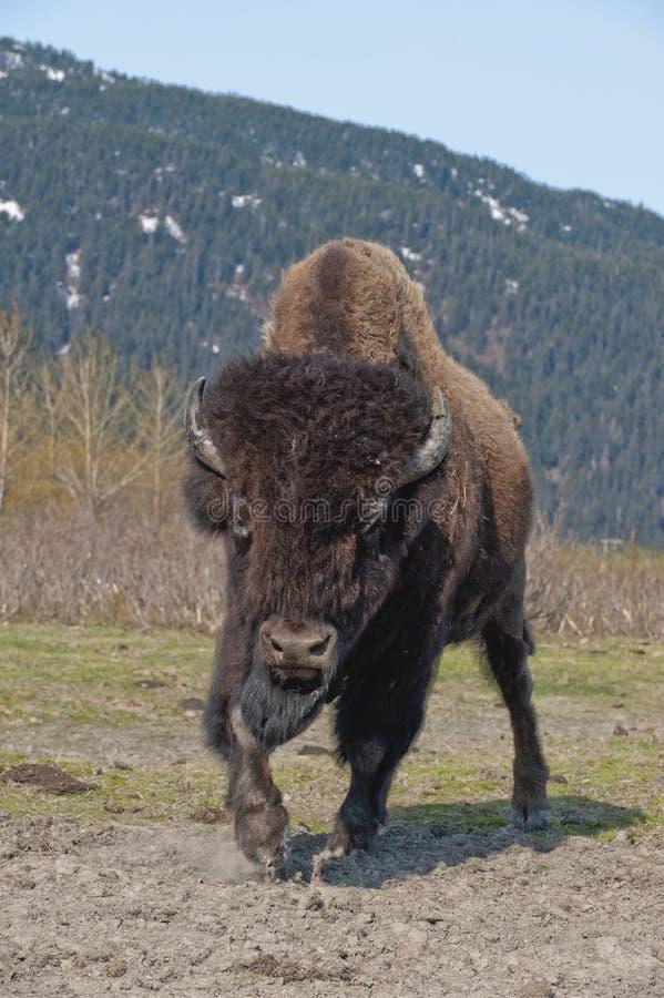 Wood bison charging stock image