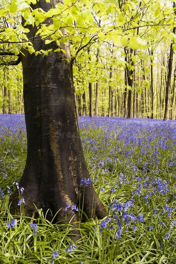 wood blåklockor royaltyfri bild