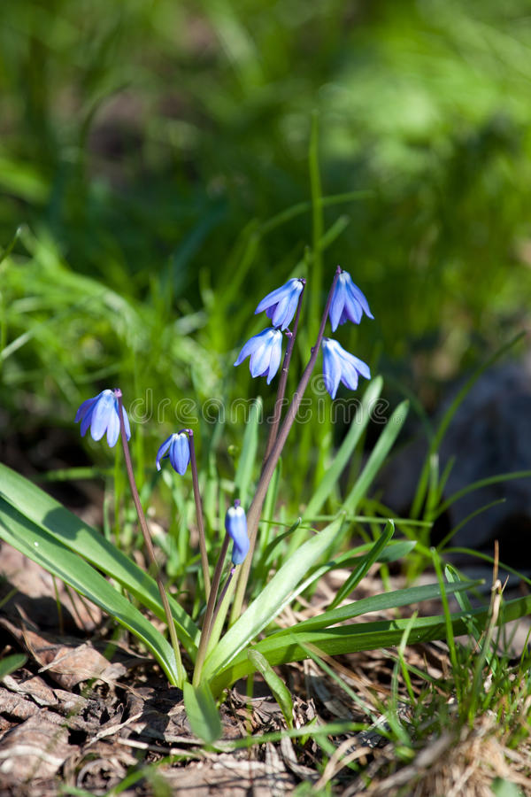 Wood blommor för squill (den Scilla sibericaen) fotografering för bildbyråer
