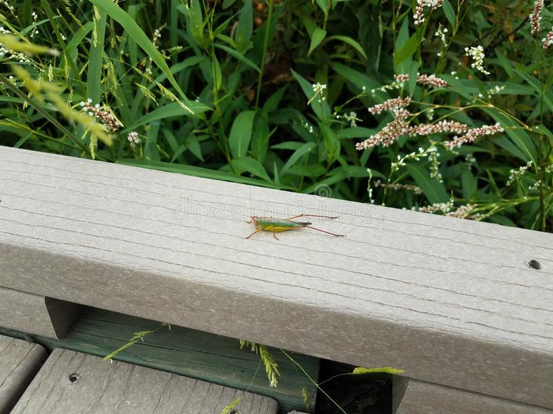 Wood board and grasshopper insect and green plants stock image