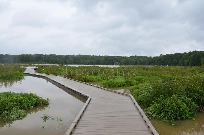 Wood boardwalk or path in wetland or swamp area with green plants. Wood boardwalk or path or trail in wetland or swamp area with green plants stock photography