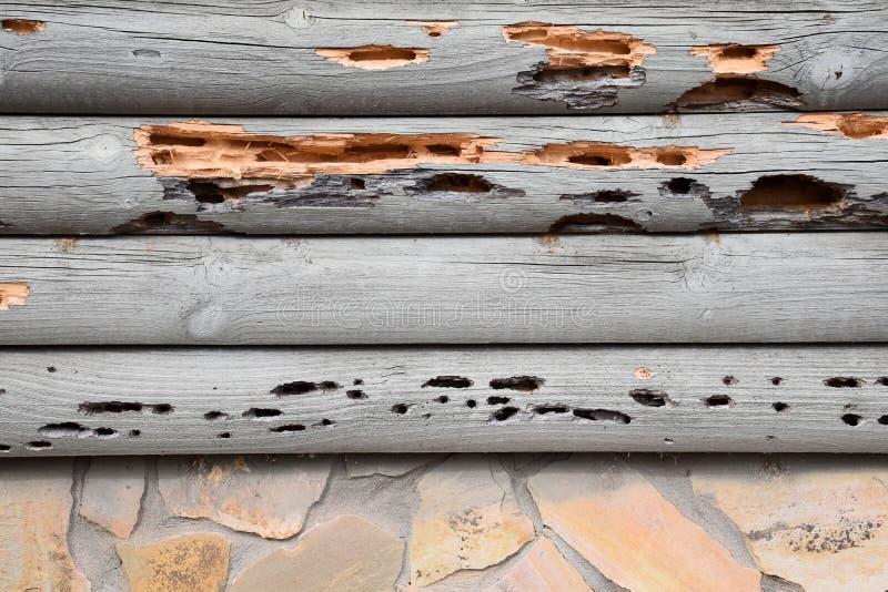 Wood Borer Damage. Extensive wooden log borer damage stock image