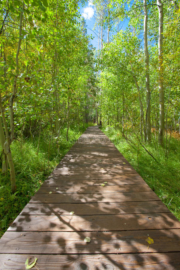 Wood Bridge Walkway Through Serene Aspen Forest Stock Image