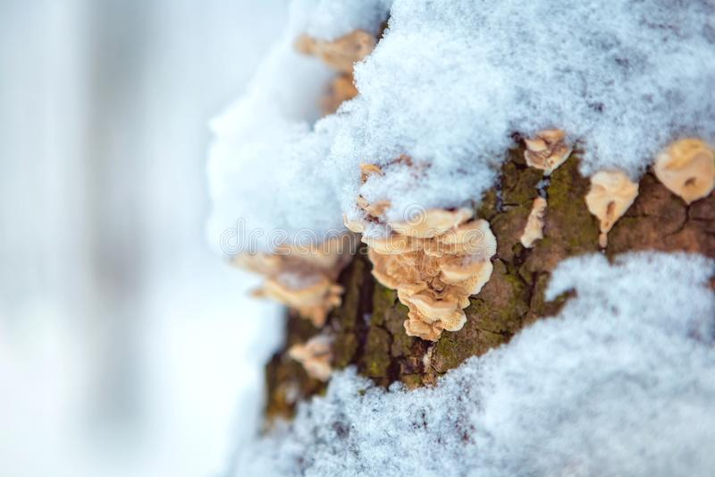 Wood champinjon på en trädstam i ett vinterskogställe för text fotografering för bildbyråer