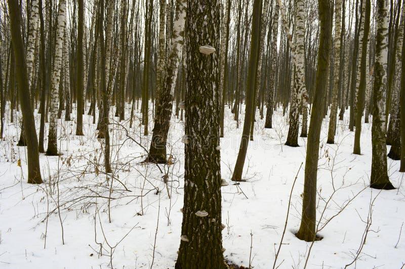 Wood champinjon på skället av ett träd i en vinterskog arkivfoto