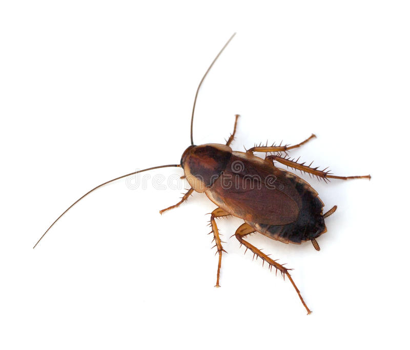 Wood Cockroach. Female PennsylvaniaWoodCockroach(Parcoblattapennsylvanica) on a white background royalty free stock photo