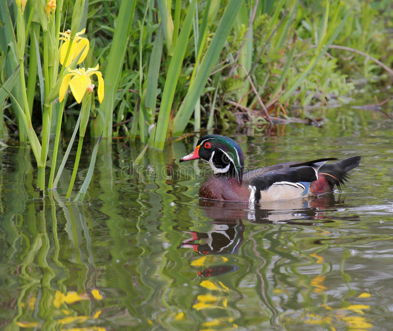 Download Wood Duck stock photo. Image of hunting, calm, duck, wood - 162480