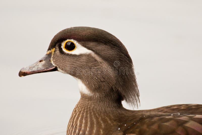 Wood Duck. Closeup Profile Portrait of Female Wood Duck stock photo