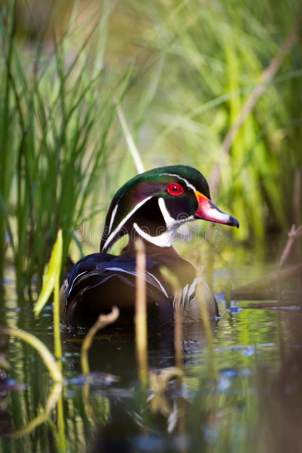 Free Wood Duck Royalty Free Stock Photos - 20927688