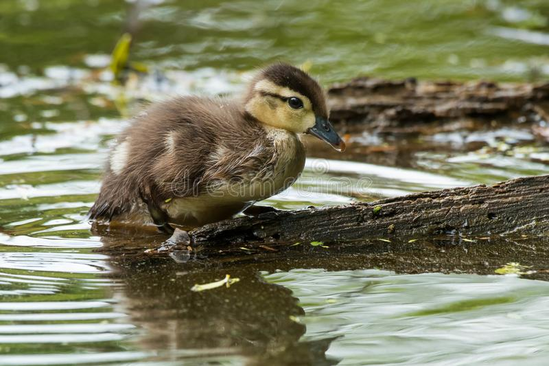 Wood Duck - Aix sponsa. A Wood Duck chick is climbing up onto a log. Also known as a Carolina Duck. High Park, Toronto, Ontario, Canada royalty free stock image