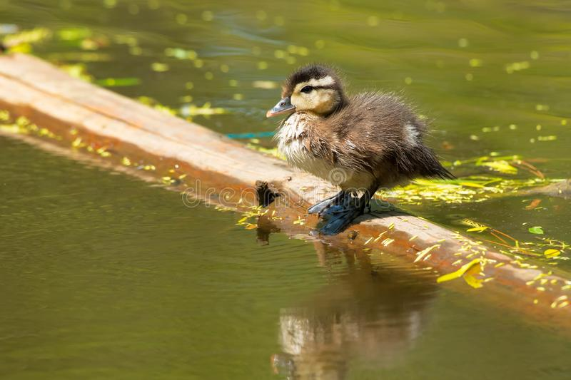 Wood Duck - Aix sponsa. A Wood Duck chick is standing on a floating log. Also known as a Carolina Duck. High Park, Toronto, Ontario, Canada royalty free stock photography